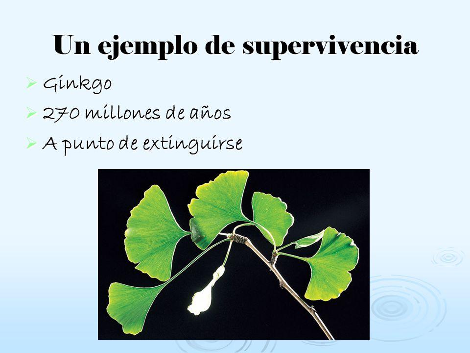 Un ejemplo de supervivencia Ginkgo 270 millones de años A punto de extinguirse