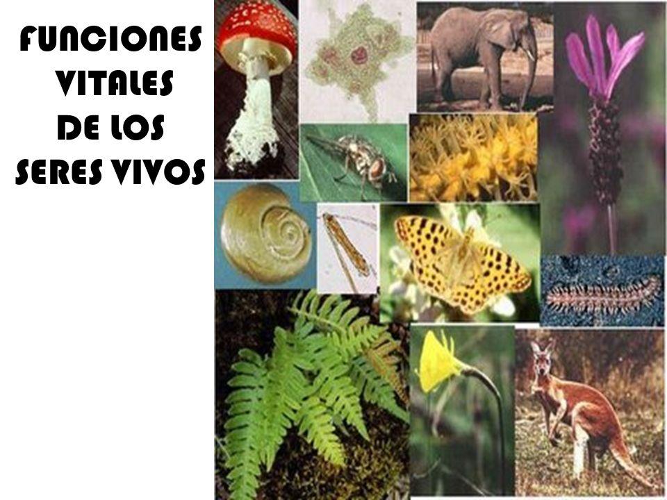 LOS NIVELES DE ORGANIZACIÓN UNICELULARES – PROCARIOTAS BACTERIAS – EUCARIOTAS ALGAS PROTOZOOS HONGOS COLONIAS – ALGAS ( Volvox ) PLURICELULARES – ANIMALES – PLANTAS – HONGOS – ALGAS