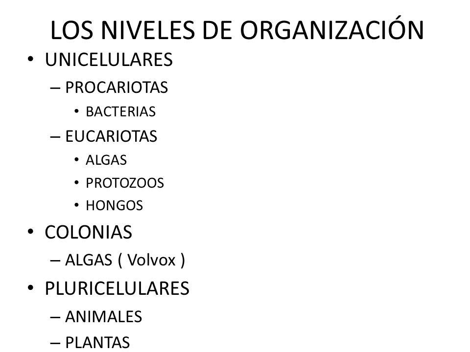 LOS NIVELES DE ORGANIZACIÓN UNICELULARES – PROCARIOTAS BACTERIAS – EUCARIOTAS ALGAS PROTOZOOS HONGOS COLONIAS – ALGAS ( Volvox ) PLURICELULARES – ANIM