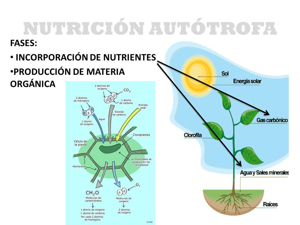 FASES: INCORPORACIÓN DE NUTRIENTES PRODUCCIÓN DE MATERIA ORGÁNICA NUTRICIÓN AUTÓTROFA
