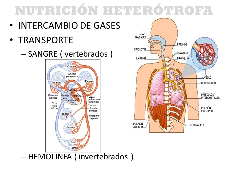 INTERCAMBIO DE GASES TRANSPORTE – SANGRE ( vertebrados ) – HEMOLINFA ( invertebrados ) NUTRICIÓN HETERÓTROFA