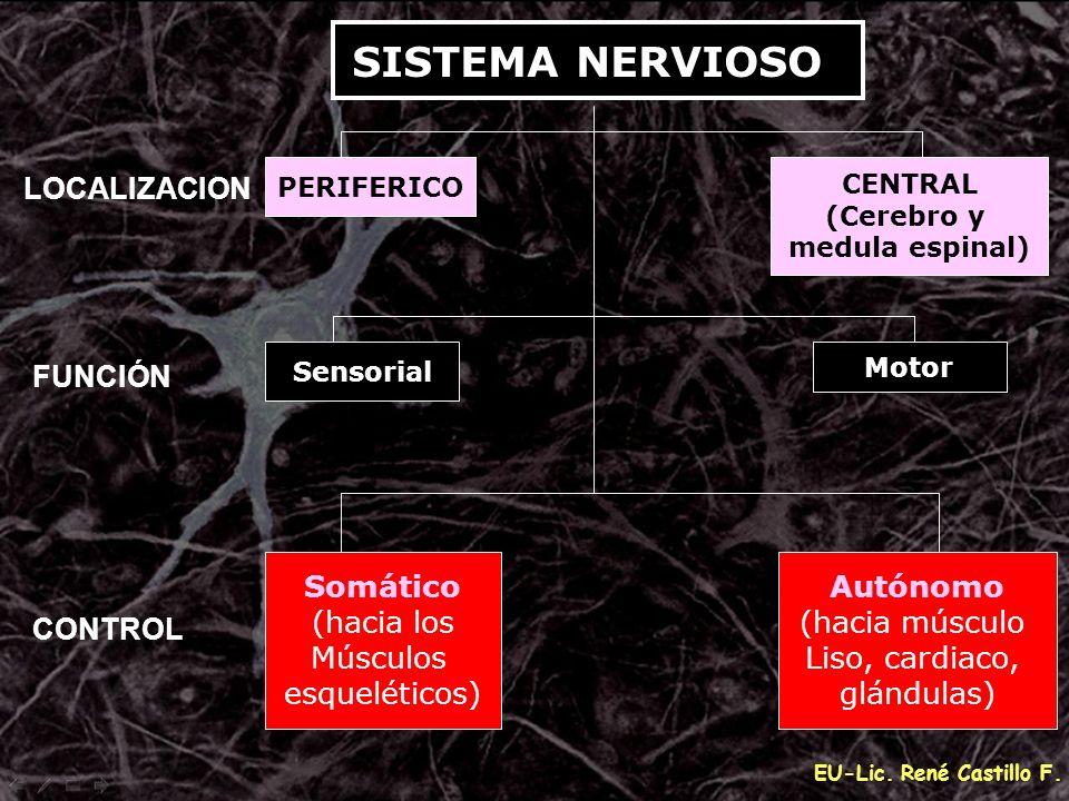 EU-Lic. René Castillo F. Sensorial PERIFERICO Somático (hacia los Músculos esqueléticos) Autónomo (hacia músculo Liso, cardiaco, glándulas) Motor CENT