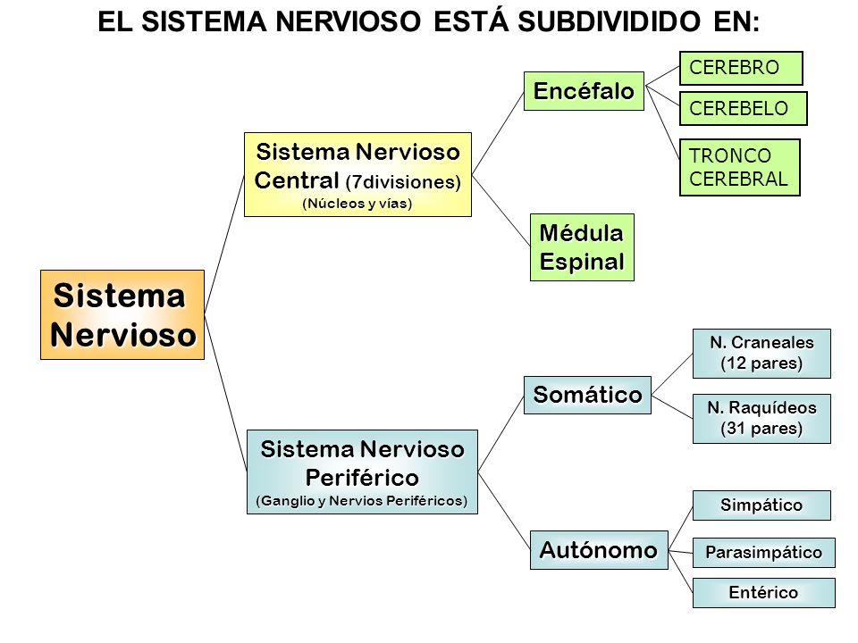 Sistema Nervioso Periférico (Ganglio y Nervios Periféricos) Encéfalo MédulaEspinal Somático Autónomo Simpático Parasimpático Entérico N. Craneales (12