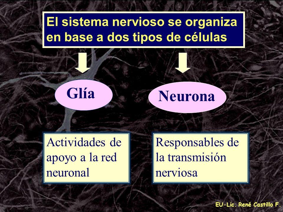 EU-Lic. René Castillo F. El sistema nervioso se organiza en base a dos tipos de células Neurona Glía Responsables de la transmisión nerviosa Actividad