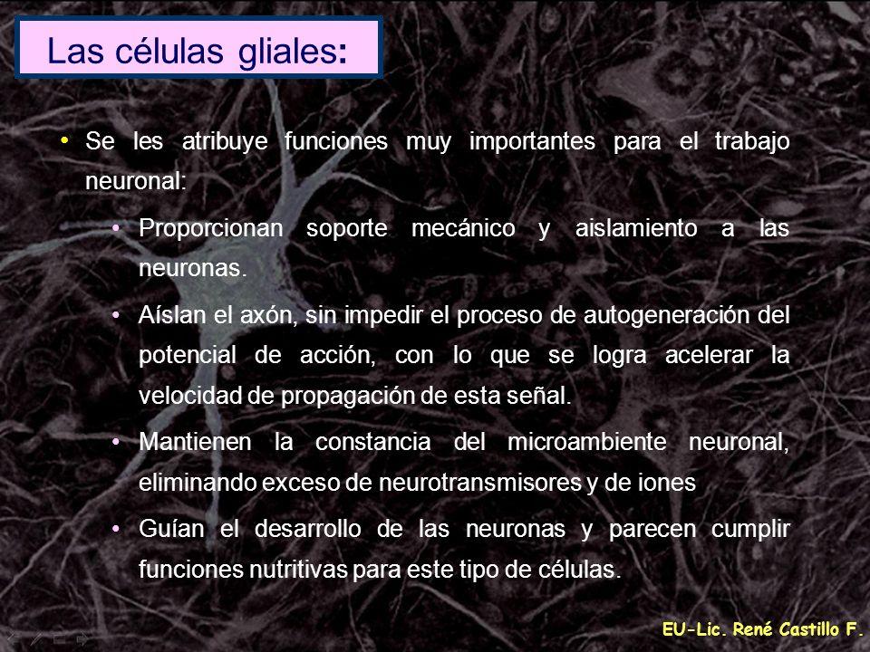 EU-Lic. René Castillo F. Se les atribuye funciones muy importantes para el trabajo neuronal: Proporcionan soporte mecánico y aislamiento a las neurona