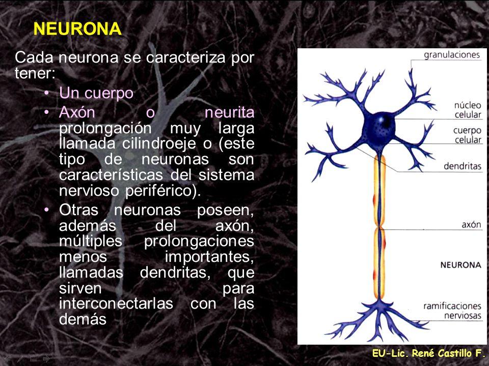 EU-Lic. René Castillo F. Cada neurona se caracteriza por tener: Un cuerpo Axón o neurita prolongación muy larga llamada cilindroeje o (este tipo de ne