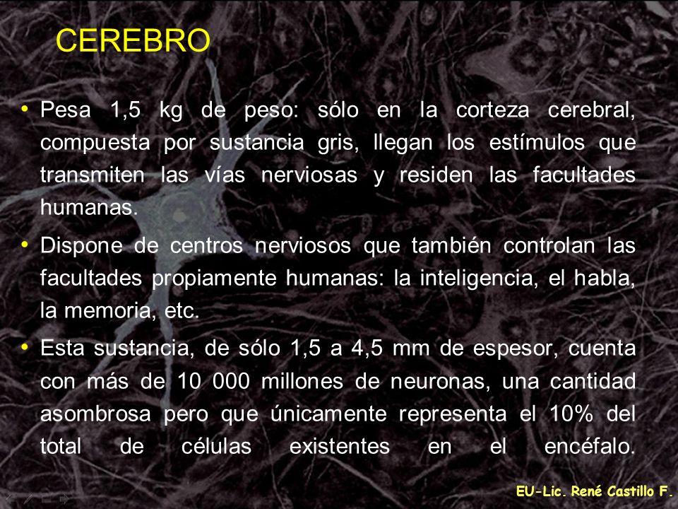 EU-Lic. René Castillo F. Pesa 1,5 kg de peso: sólo en la corteza cerebral, compuesta por sustancia gris, llegan los estímulos que transmiten las vías