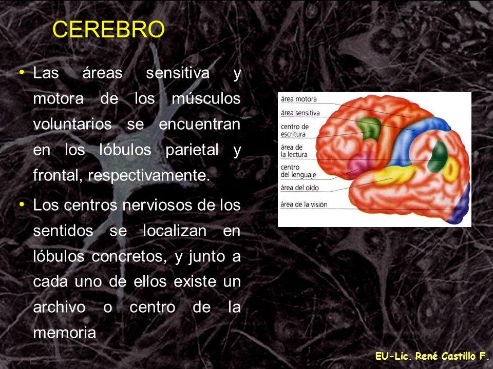EU-Lic. René Castillo F. Las áreas sensitiva y motora de los músculos voluntarios se encuentran en los lóbulos parietal y frontal, respectivamente. Lo
