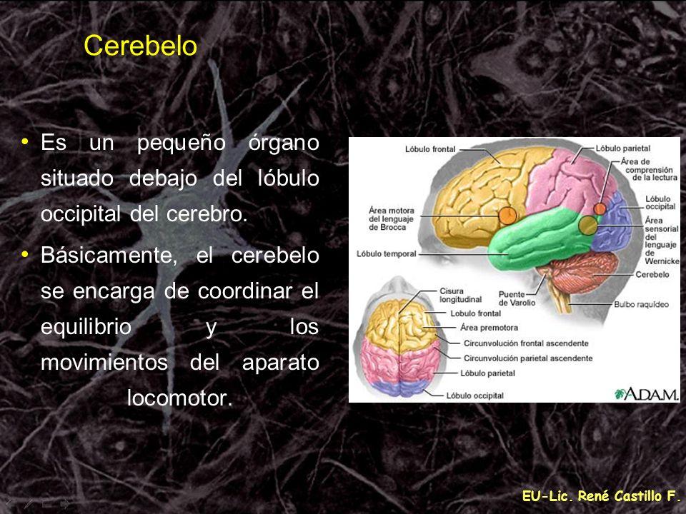 EU-Lic. René Castillo F. Cerebelo Es un pequeño órgano situado debajo del lóbulo occipital del cerebro. Básicamente, el cerebelo se encarga de coordin