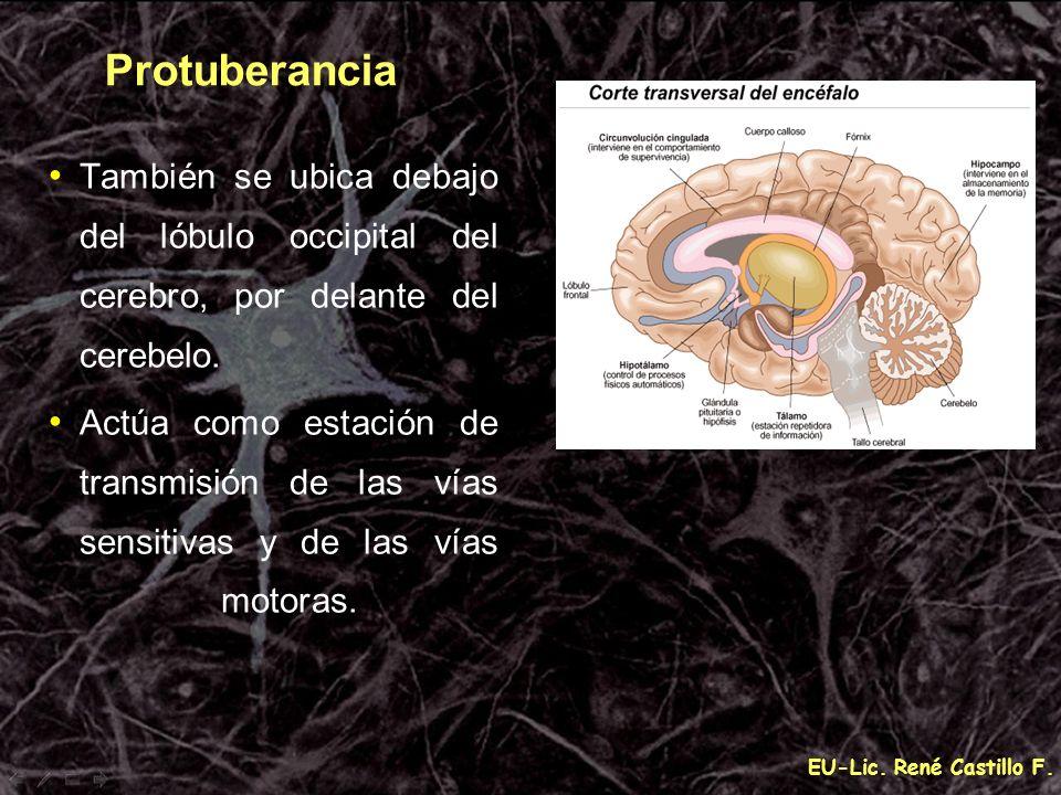 EU-Lic. René Castillo F. Protuberancia También se ubica debajo del lóbulo occipital del cerebro, por delante del cerebelo. Actúa como estación de tran