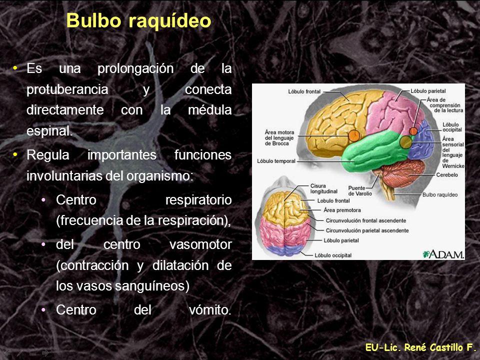 EU-Lic. René Castillo F. Bulbo raquídeo Es una prolongación de la protuberancia y conecta directamente con la médula espinal. Regula importantes funci
