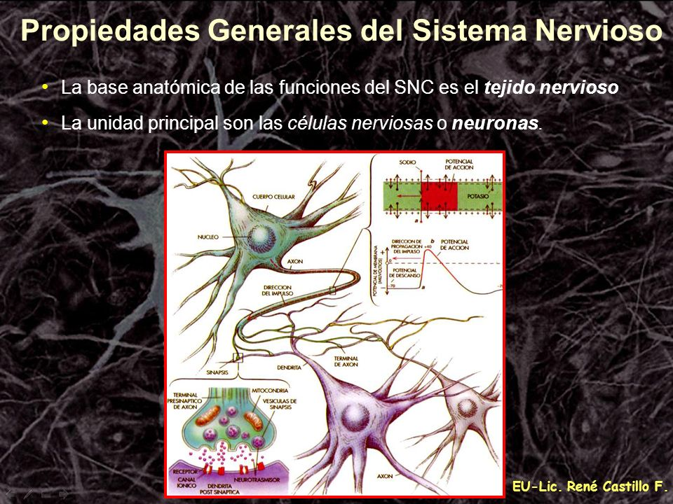 EU-Lic. René Castillo F. La base anatómica de las funciones del SNC es el tejido nervioso La unidad principal son las células nerviosas o neuronas. Pr
