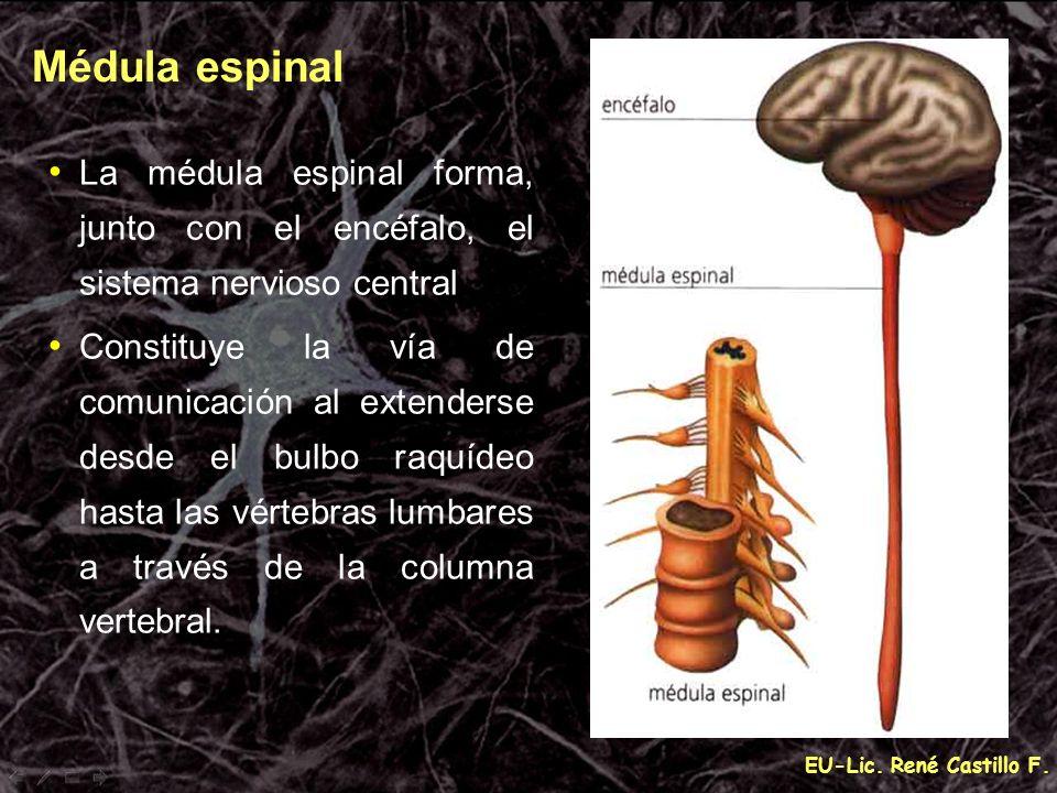 EU-Lic. René Castillo F. La médula espinal forma, junto con el encéfalo, el sistema nervioso central Constituye la vía de comunicación al extenderse d