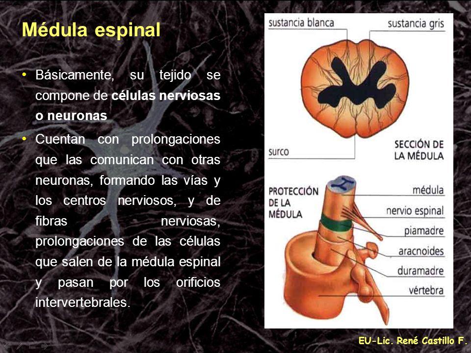 EU-Lic. René Castillo F. Básicamente, su tejido se compone de células nerviosas o neuronas Cuentan con prolongaciones que las comunican con otras neur