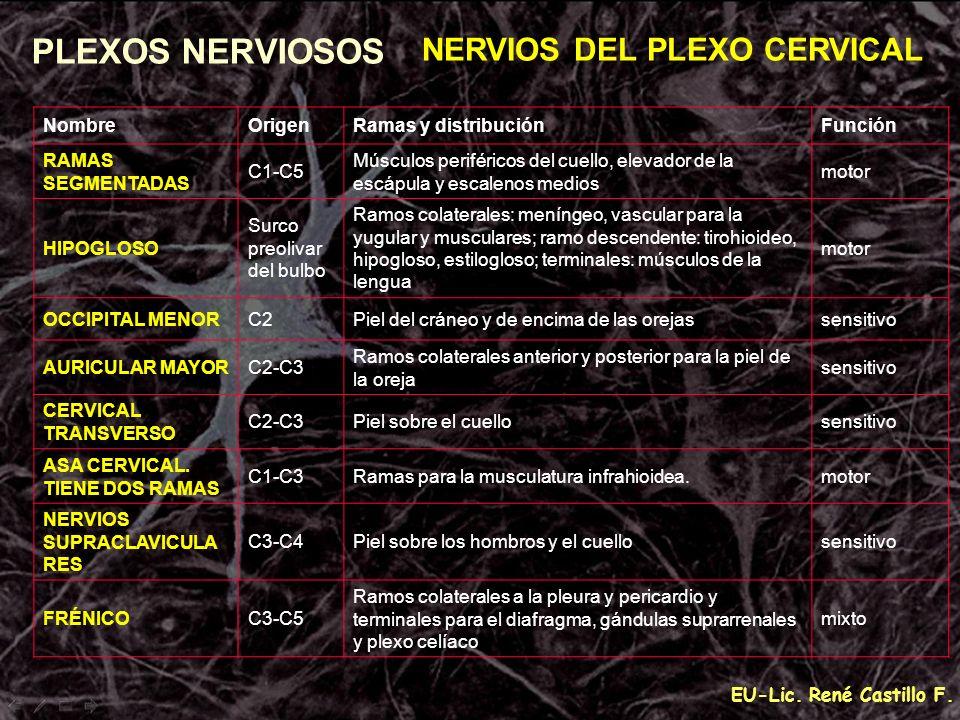 EU-Lic. René Castillo F. PLEXOS NERVIOSOS NERVIOS DEL PLEXO CERVICAL NombreOrigenRamas y distribuciónFunción RAMAS SEGMENTADAS C1-C5 Músculos periféri