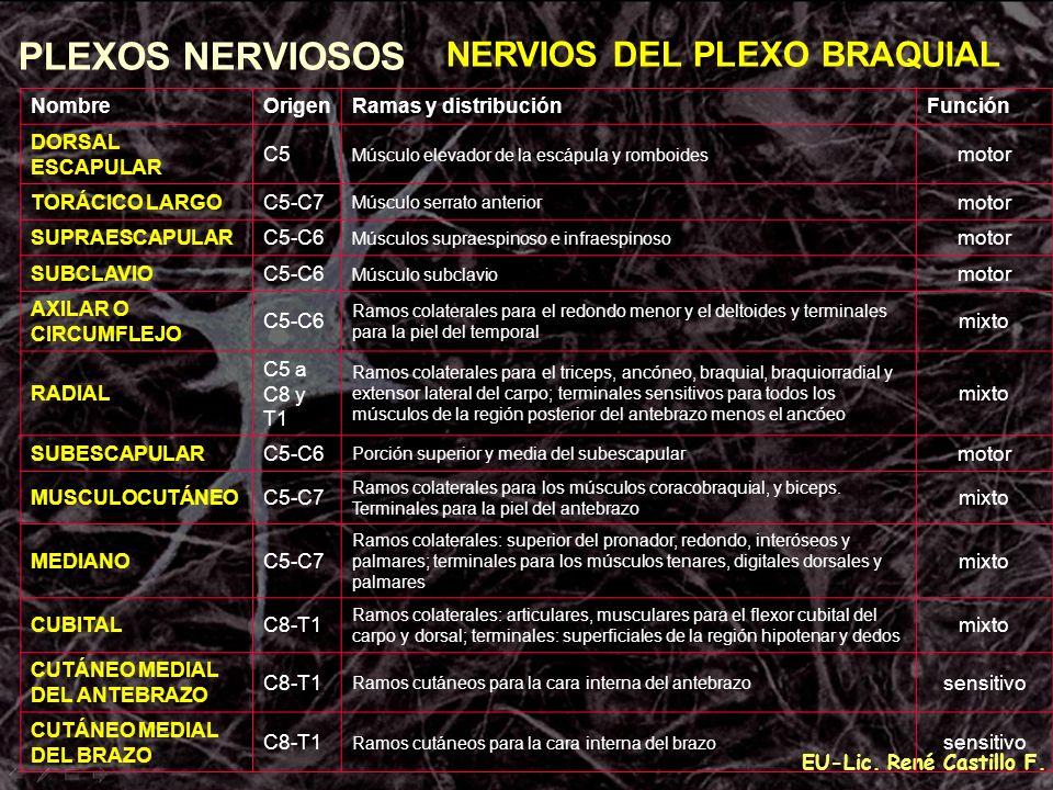 EU-Lic. René Castillo F. PLEXOS NERVIOSOS NERVIOS DEL PLEXO BRAQUIAL NombreOrigenRamas y distribuciónFunción DORSAL ESCAPULAR C5 Músculo elevador de l