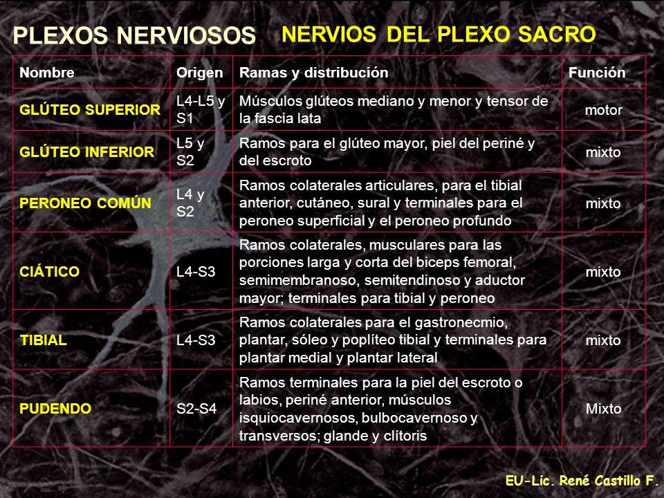 EU-Lic. René Castillo F. PLEXOS NERVIOSOS NERVIOS DEL PLEXO SACRO NombreOrigenRamas y distribuciónFunción GLÚTEO SUPERIOR L4-L5 y S1 Músculos glúteos