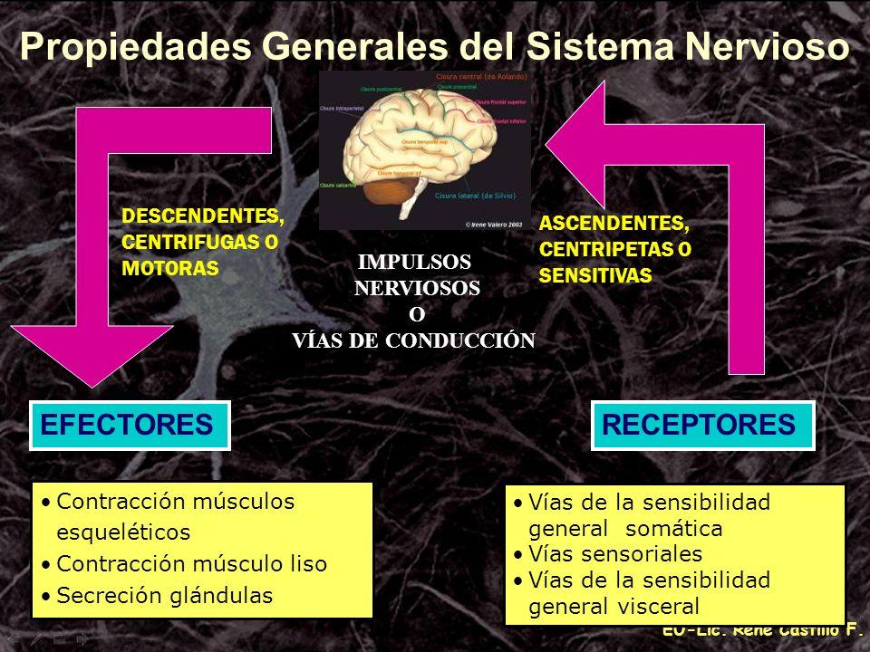 EU-Lic. René Castillo F. IMPULSOS NERVIOSOS O VÍAS DE CONDUCCIÓN Propiedades Generales del Sistema Nervioso DESCENDENTES, CENTRIFUGAS O MOTORAS ASCEND