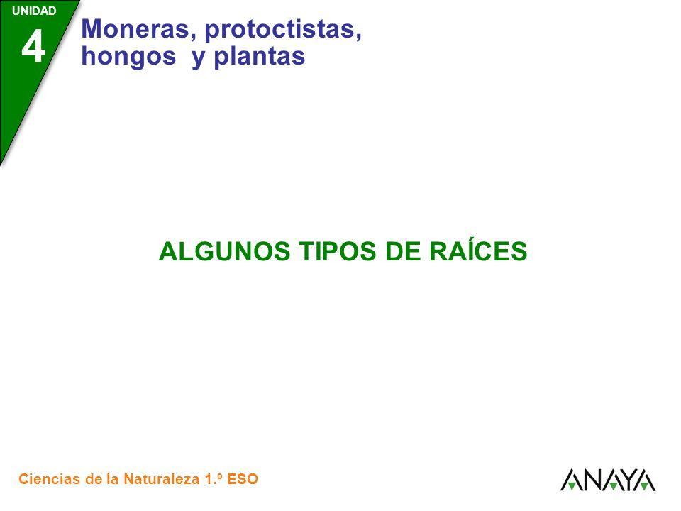 UNIDAD 4 Moneras, protoctistas, hongos y plantas Ciencias de la Naturaleza 1.º ESO ALGUNOS TIPOS DE RAÍCES
