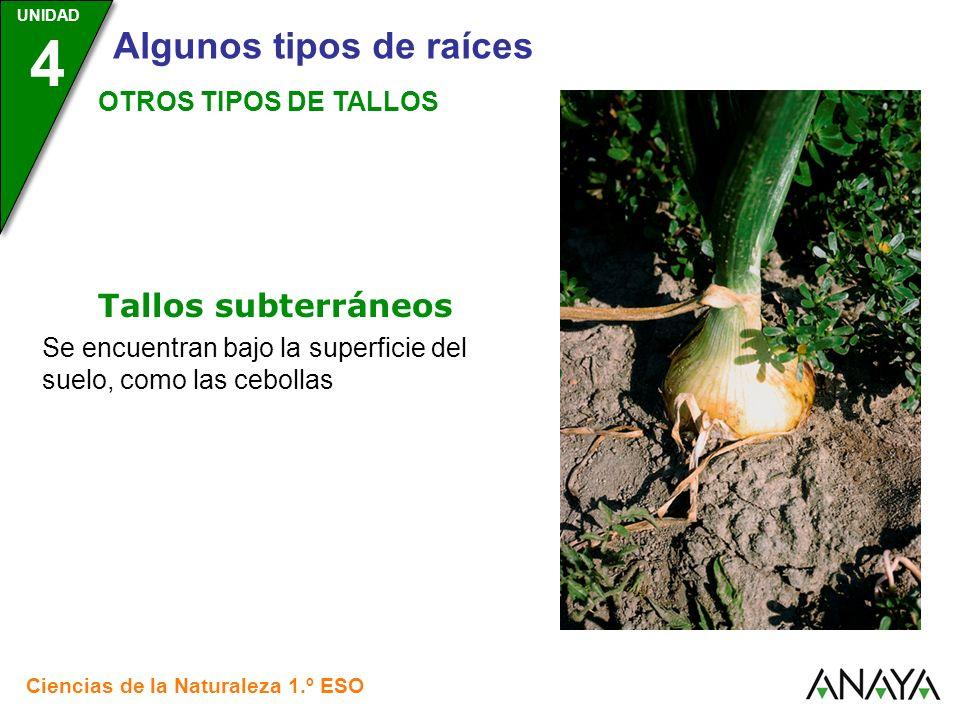 UNIDAD 3 Ciencias de la Naturaleza 1.º ESO UNIDAD 4 Algunos tipos de raíces OTROS TIPOS DE TALLOS Se encuentran bajo la superficie del suelo, como las