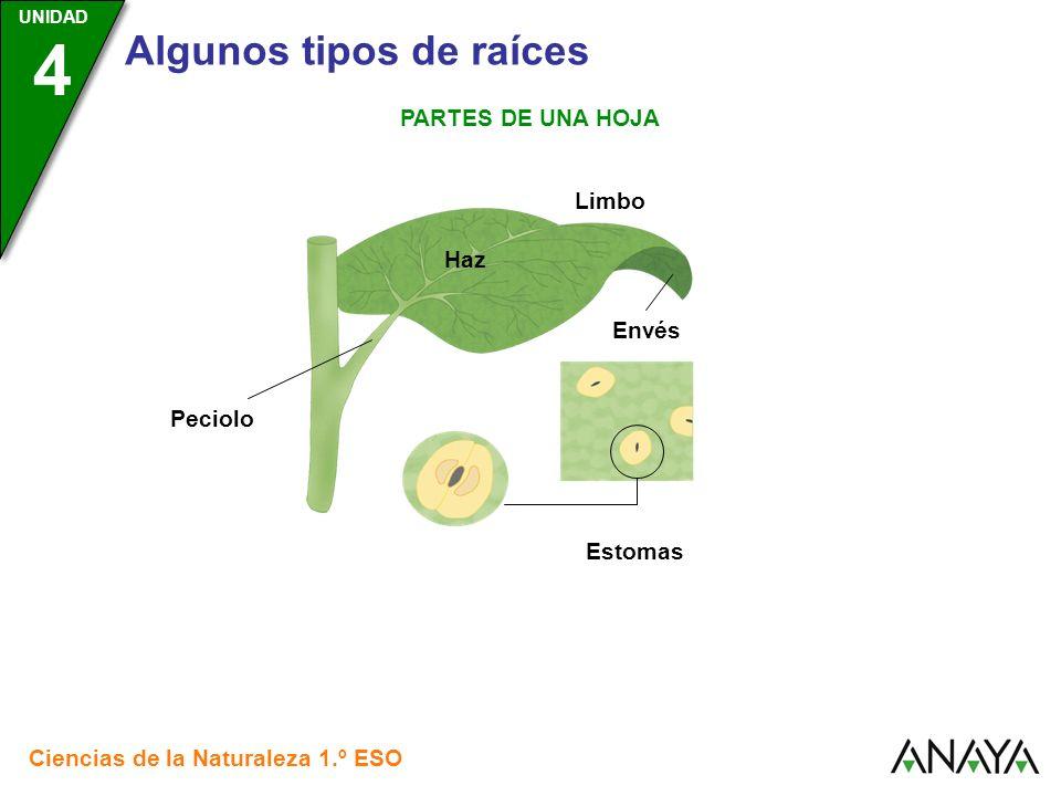 UNIDAD 3 Ciencias de la Naturaleza 1.º ESO UNIDAD 4 Algunos tipos de raíces PARTES DE UNA HOJA Limbo Estomas Haz Envés Peciolo