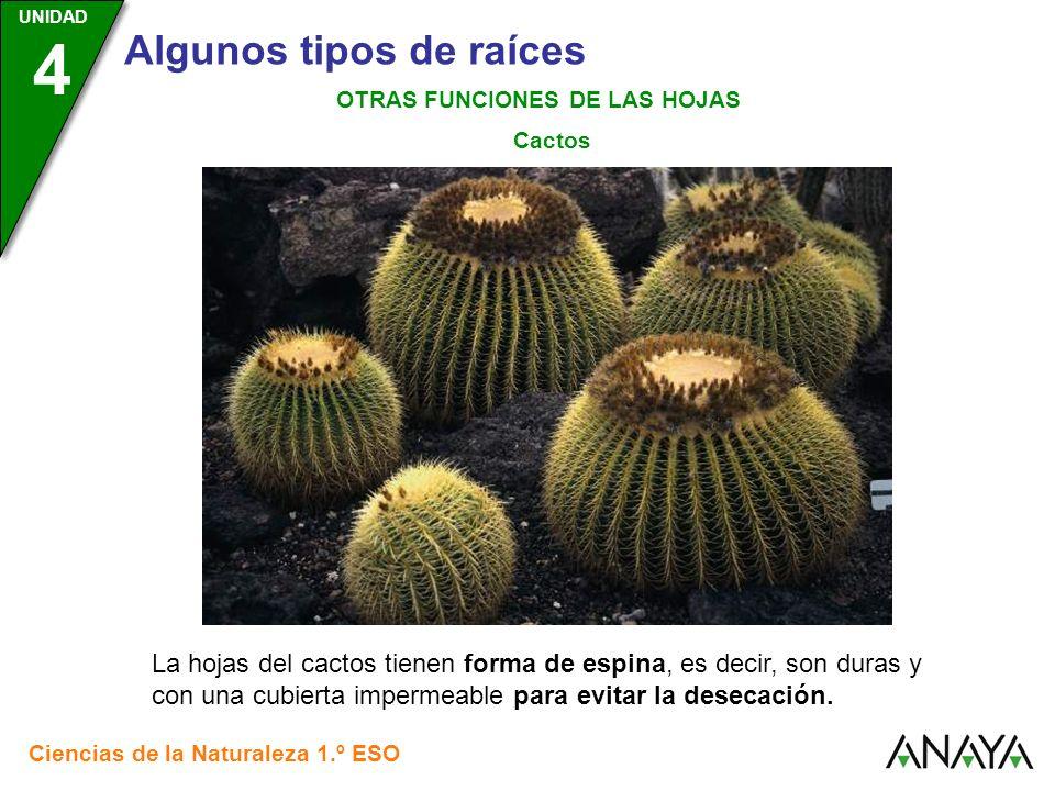 UNIDAD 3 Ciencias de la Naturaleza 1.º ESO UNIDAD 4 Algunos tipos de raíces OTRAS FUNCIONES DE LAS HOJAS Cactos La hojas del cactos tienen forma de es