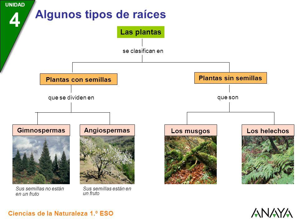 UNIDAD 3 Ciencias de la Naturaleza 1.º ESO UNIDAD 4 Algunos tipos de raíces que se dividen en Las plantas se clasifican en Plantas con semillas Planta