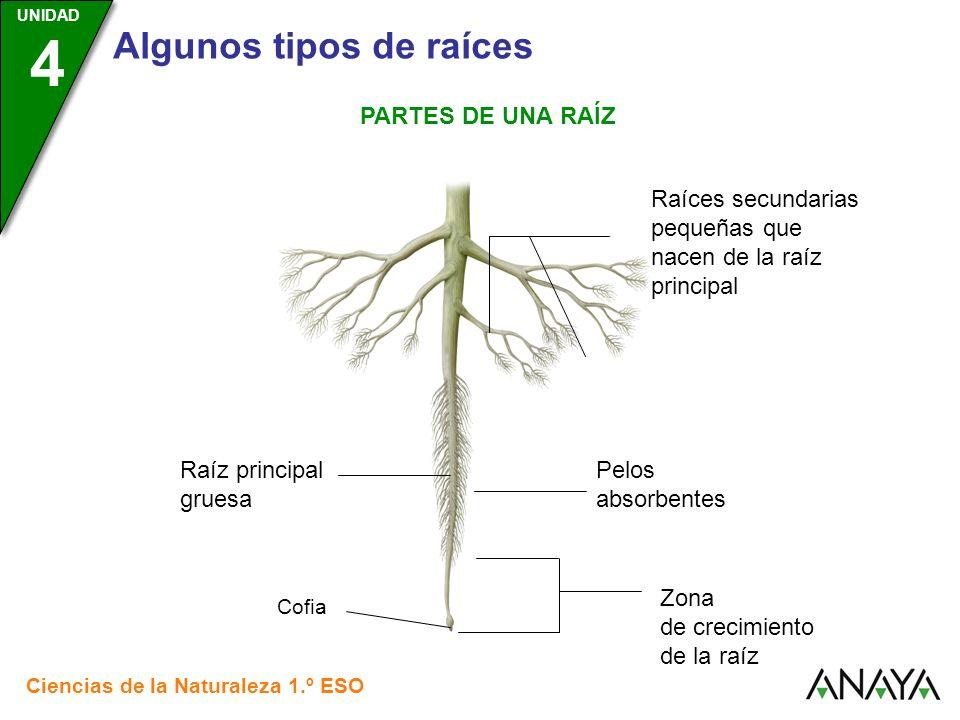 UNIDAD 3 Ciencias de la Naturaleza 1.º ESO UNIDAD 4 Algunos tipos de raíces PARTES DE UNA RAÍZ Raíz principal gruesa Raíces secundarias pequeñas que n