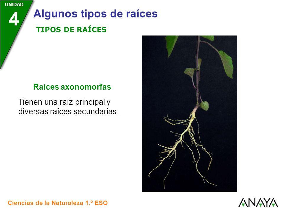 UNIDAD 3 Ciencias de la Naturaleza 1.º ESO UNIDAD 4 Algunos tipos de raíces TIPOS DE RAÍCES Tienen una raíz principal y diversas raíces secundarias. R