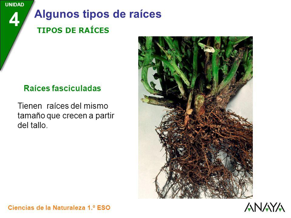 UNIDAD 3 Ciencias de la Naturaleza 1.º ESO UNIDAD 4 Algunos tipos de raíces Raíces fasciculadas Tienen raíces del mismo tamaño que crecen a partir del