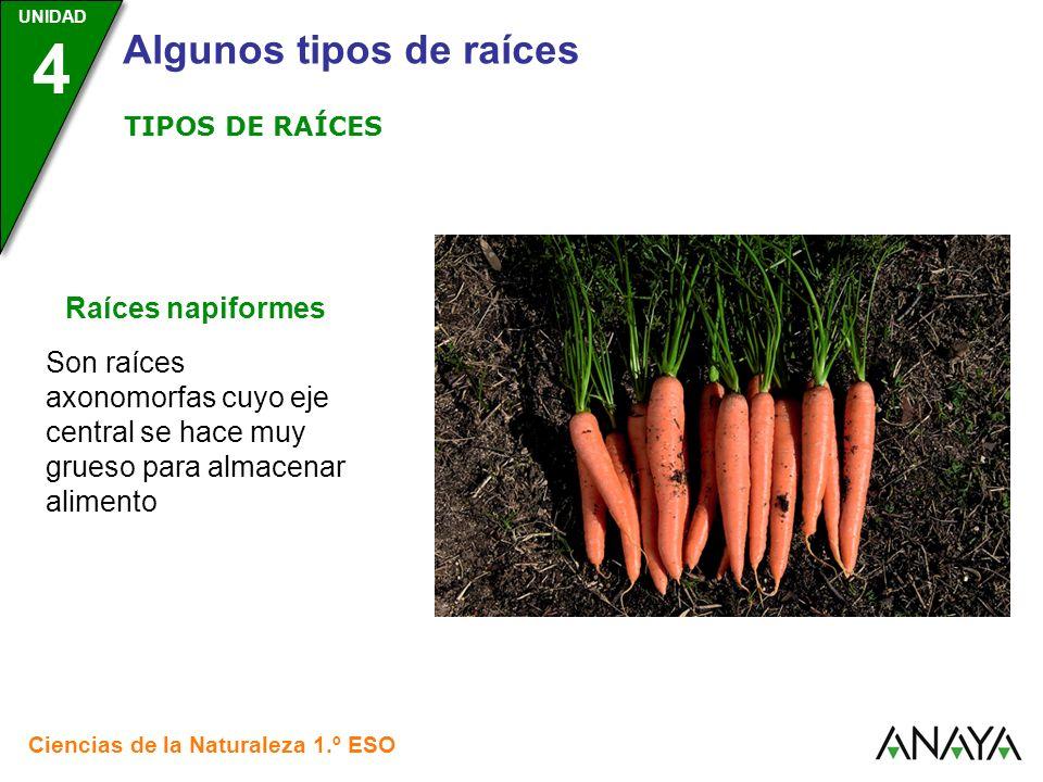 UNIDAD 3 Ciencias de la Naturaleza 1.º ESO UNIDAD 4 Algunos tipos de raíces Raíces napiformes Son raíces axonomorfas cuyo eje central se hace muy grue