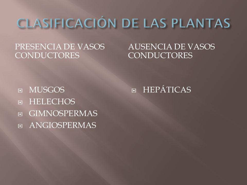 PRESENCIA DE VASOS CONDUCTORES AUSENCIA DE VASOS CONDUCTORES MUSGOS HELECHOS GIMNOSPERMAS ANGIOSPERMAS HEPÁTICAS