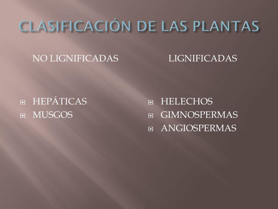 NO LIGNIFICADASLIGNIFICADAS HEPÁTICAS MUSGOS HELECHOS GIMNOSPERMAS ANGIOSPERMAS