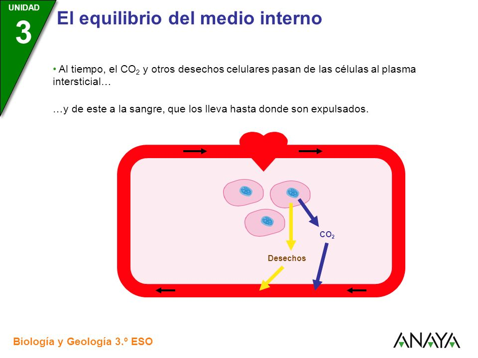UNIDAD 3 El equilibrio del medio interno Biología y Geología 3.º ESO UNIDAD 3 Al tiempo, el CO 2 y otros desechos celulares pasan de las células al pl