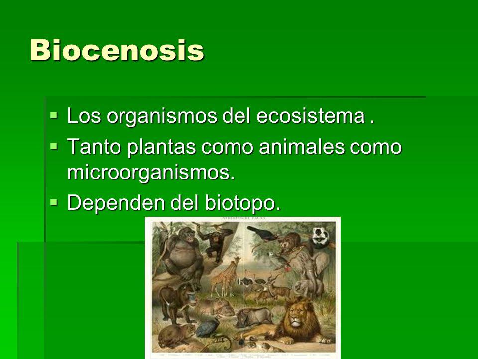 Biocenosis Los organismos del ecosistema. Los organismos del ecosistema. Tanto plantas como animales como microorganismos. Tanto plantas como animales