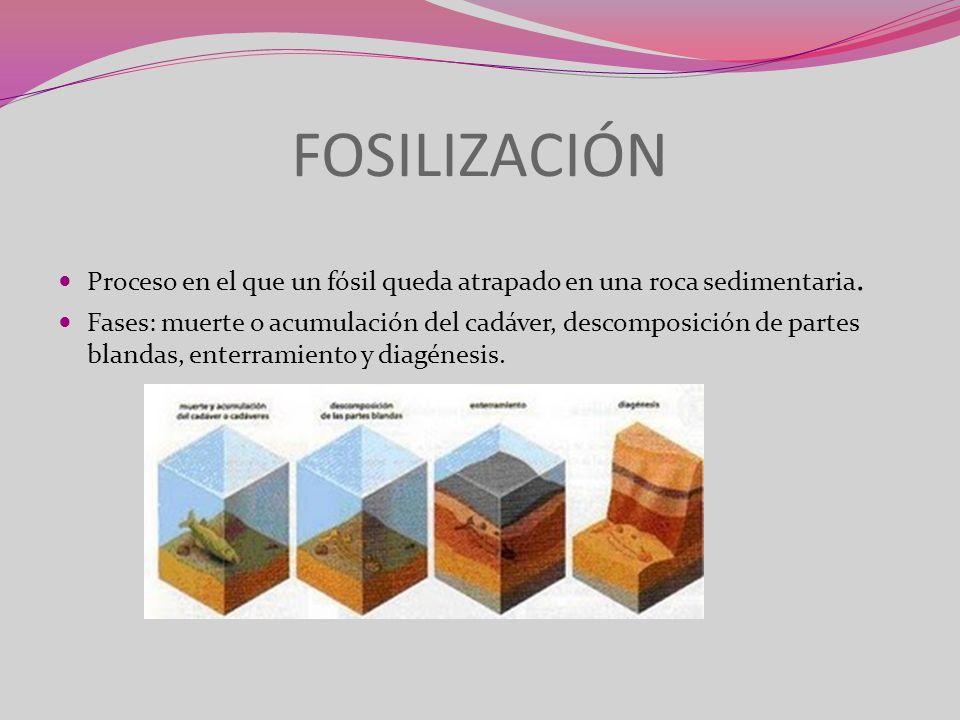 FOSILIZACIÓN Proceso en el que un fósil queda atrapado en una roca sedimentaria. Fases: muerte o acumulación del cadáver, descomposición de partes bla