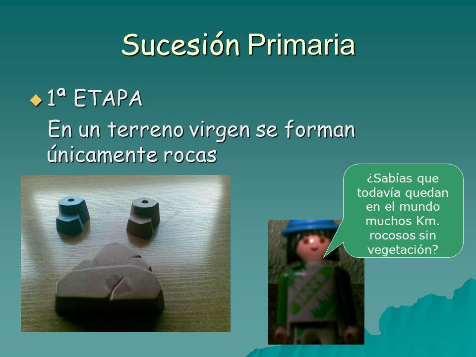 Sucesión Primaria 2ª ETAPA 2ª ETAPA Se forman las especies pioneras ( líquenes y musgos) que favorecen la formación del suelo y la alimentación de pequeños consumidores