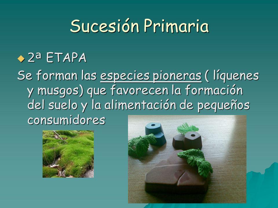 Sucesión Primaria 2ª ETAPA 2ª ETAPA Se forman las especies pioneras ( líquenes y musgos) que favorecen la formación del suelo y la alimentación de peq