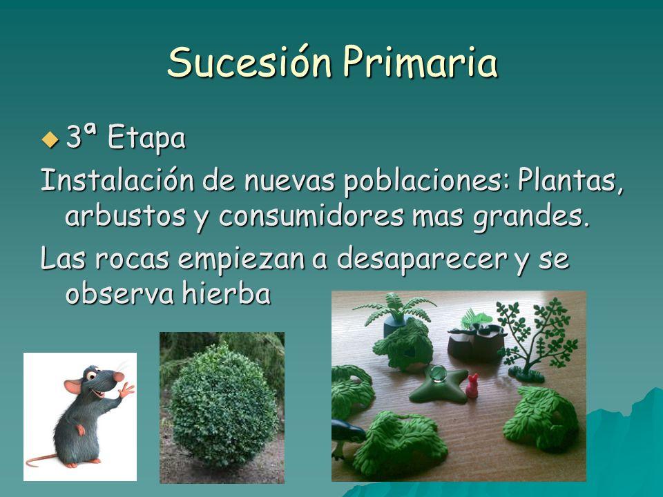 Sucesión Primaria 3ª Etapa 3ª Etapa Instalación de nuevas poblaciones: Plantas, arbustos y consumidores mas grandes. Las rocas empiezan a desaparecer