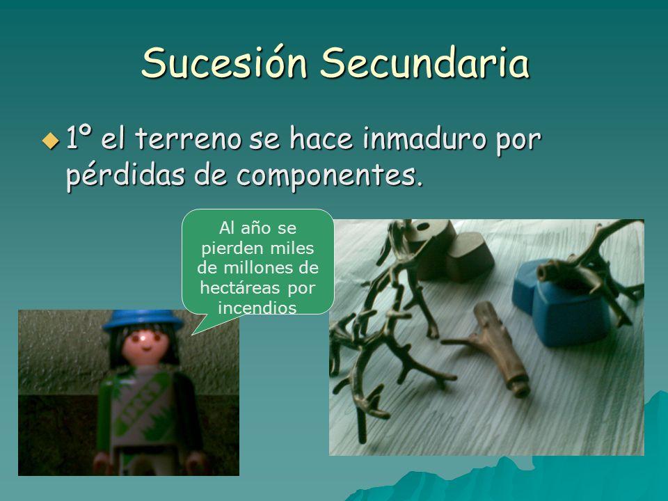 Sucesión Secundaria 1º el terreno se hace inmaduro por pérdidas de componentes. 1º el terreno se hace inmaduro por pérdidas de componentes. Al año se