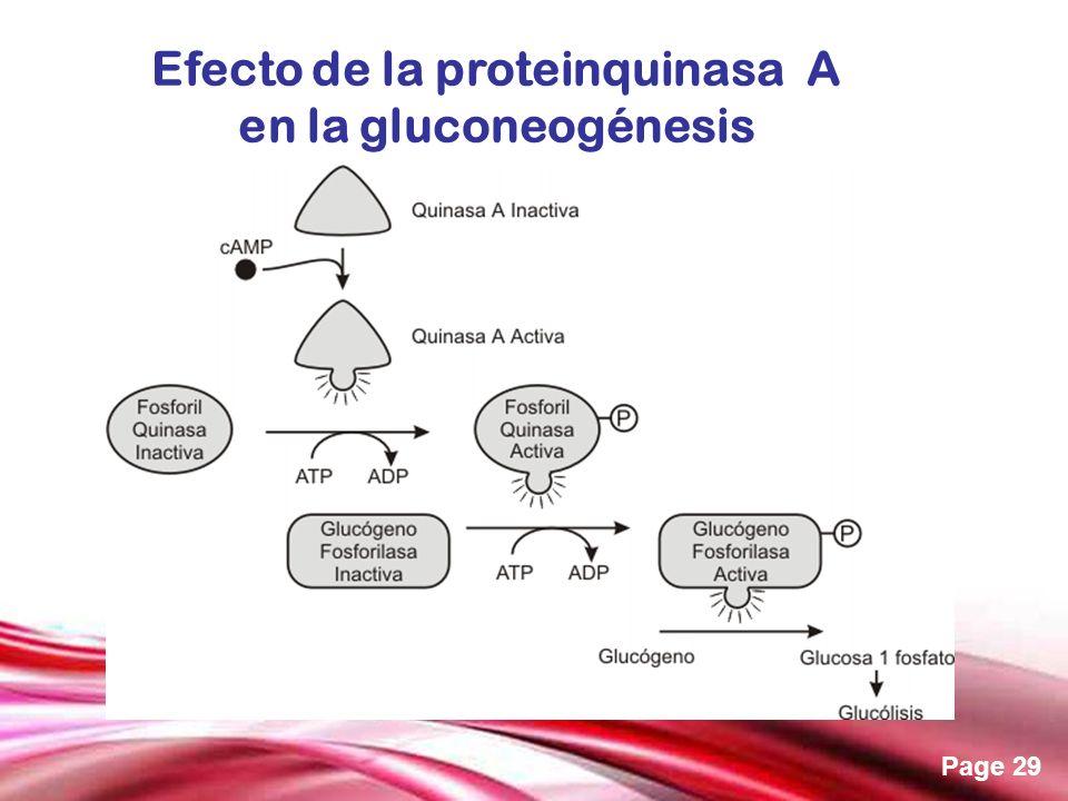 Free Powerpoint Templates Page 29 Efecto de la proteinquinasa A en la gluconeogénesis