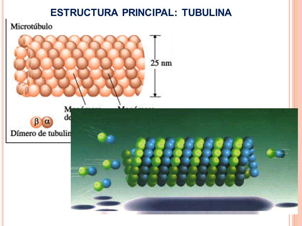 ESTRUCTURA PRINCIPAL: TUBULINA