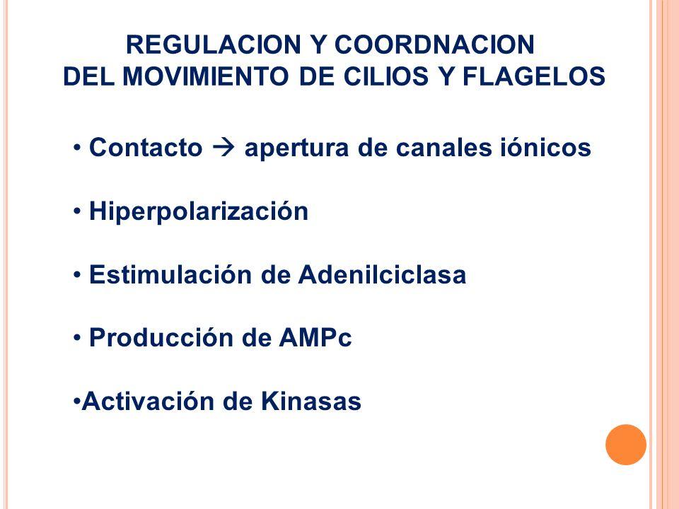 REGULACION Y COORDNACION DEL MOVIMIENTO DE CILIOS Y FLAGELOS Contacto apertura de canales iónicos Hiperpolarización Estimulación de Adenilciclasa Prod