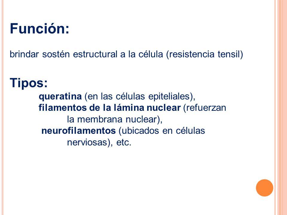 Función: brindar sostén estructural a la célula (resistencia tensil) Tipos: queratina (en las células epiteliales), filamentos de la lámina nuclear (r