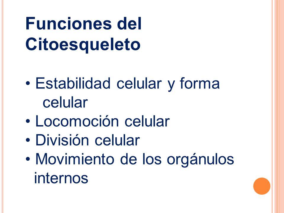Funciones del Citoesqueleto Estabilidad celular y forma celular Locomoción celular División celular Movimiento de los orgánulos internos