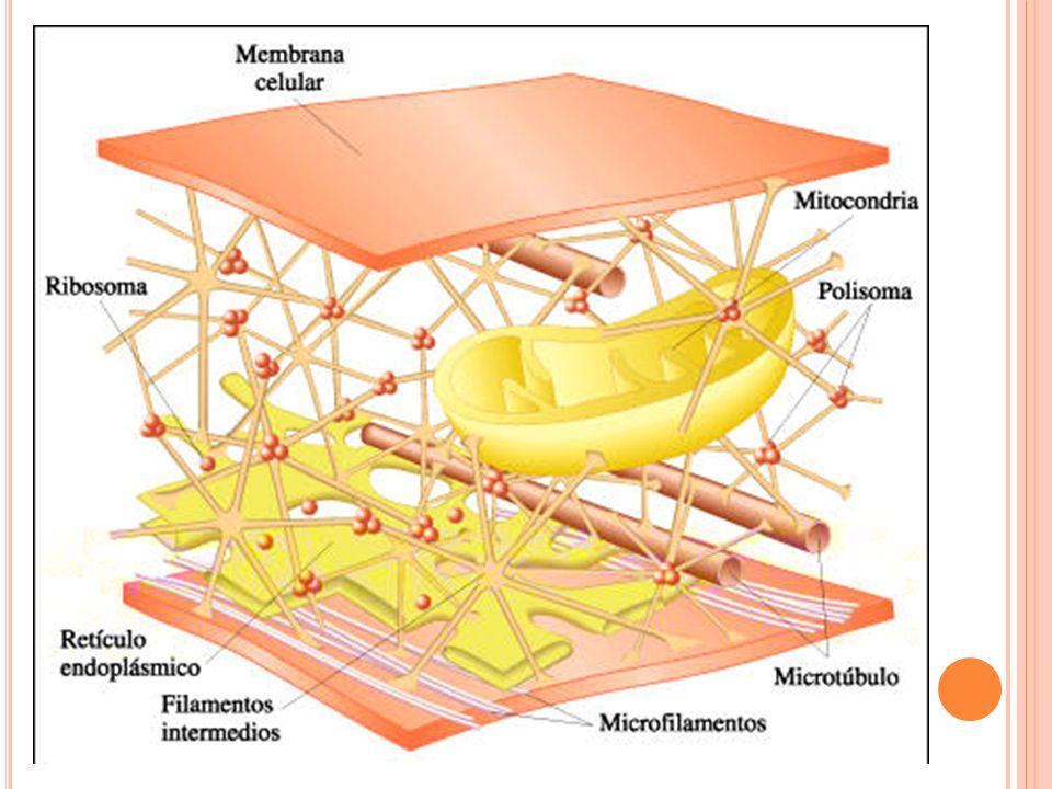 Función: brindar sostén estructural a la célula (resistencia tensil) Tipos: queratina (en las células epiteliales), filamentos de la lámina nuclear (refuerzan la membrana nuclear), neurofilamentos (ubicados en células nerviosas), etc.