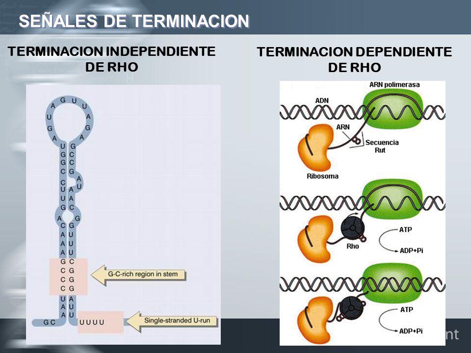 SEÑALES DE TERMINACION TERMINACION INDEPENDIENTE DE RHO TERMINACION DEPENDIENTE DE RHO