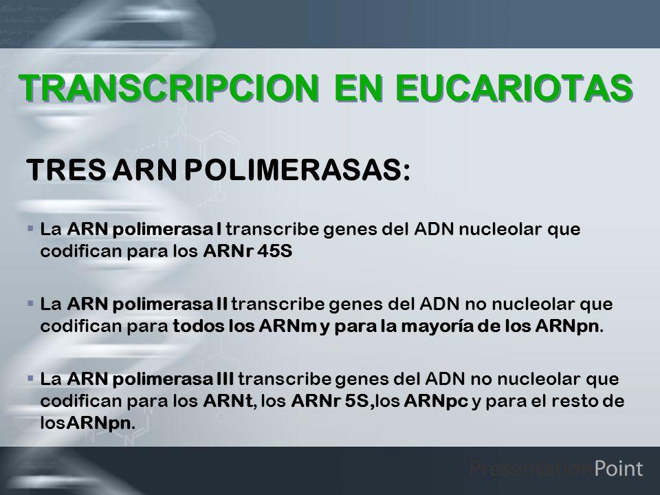 TRANSCRIPCION EN EUCARIOTAS TRES ARN POLIMERASAS: La ARN polimerasa I transcribe genes del ADN nucleolar que codifican para los ARNr 45S La ARN polime