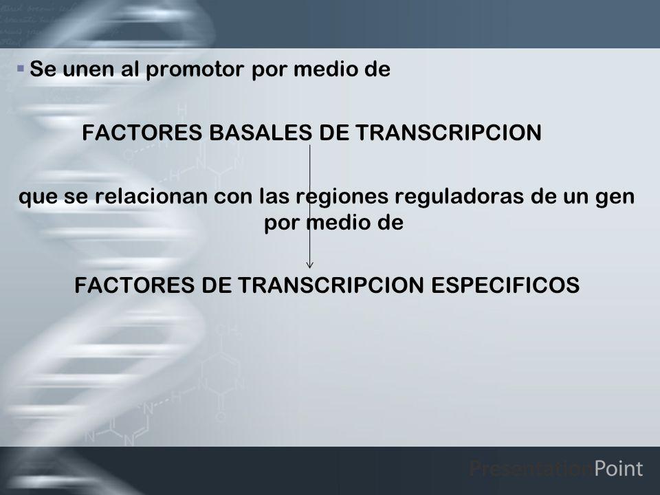 Se unen al promotor por medio de FACTORES BASALES DE TRANSCRIPCION que se relacionan con las regiones reguladoras de un gen por medio de FACTORES DE T