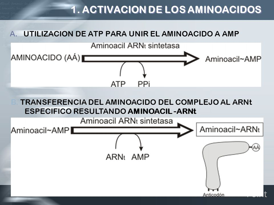 1. ACTIVACION DE LOS AMINOACIDOS A.UTILIZACION DE ATP PARA UNIR EL AMINOACIDO A AMP B. TRANSFERENCIA DEL AMINOACIDO DEL COMPLEJO AL ARNt ESPECIFICO RE